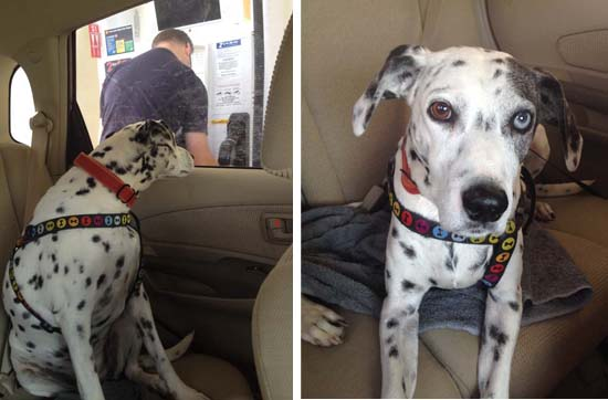 dalmatian dog in a car looking out the window