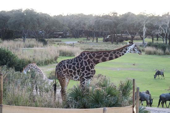 African savannah on the wild Africa trek at animal kingdom