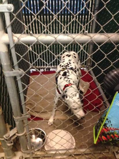 dalmatian inside kennels at disneyland